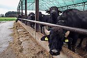 Italie, Carditello, 6-3-2008..Waterbuffels in de regio Napels, in Campania. Van hun melk wordt de beroemde mozarella kaas gemaakt. De streek kampt echter met grote afval en vervuilingsproblemen. ..Foto: Flip Franssen