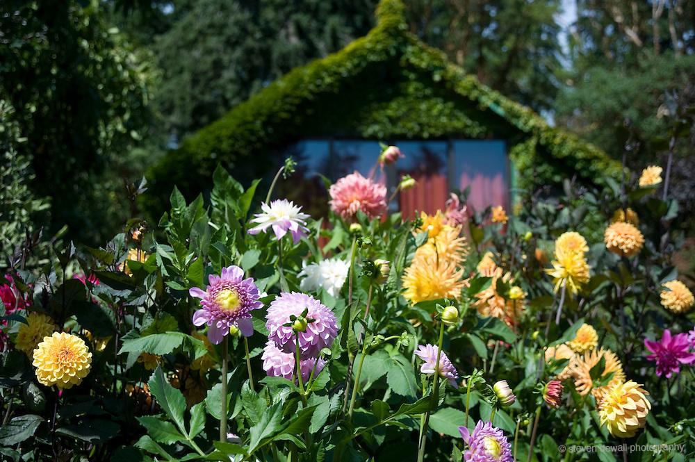Butchart Gardens Dahlias