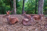 Japon, île de Honshu, région de Kansaï, Nara, biches dans les parcs de la ville // Japan, Honshu island, Kansai region, Nara, deer on the garden of the city