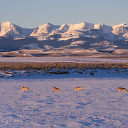 Gray wolf (Canis lupus) pack running during winter in Montana. Captive Animal