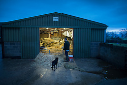 © Licensed to London News Pictures. 08/01/2017. Fetcham, UK. Farmer and butcher Steve Conisbee, and his sheep dog Drover, arrive at the lambing barn at first light on Barracks farm. 80 ewes are expected to give birth to 80-90 lambs for the Easter market. The farm is owned by the Conisbee family who have  supplied their own butchers shops in nearby Horsley for over 250 years. Photo credit: Peter Macdiarmid/LNP