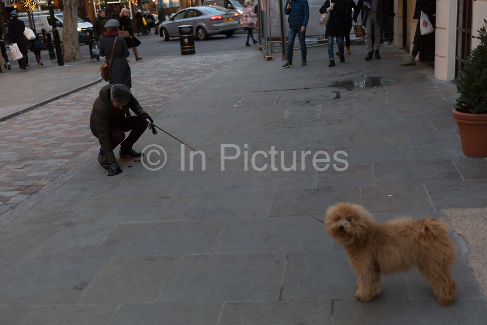 The owner of his pet Cockapoo dog picks up its poo from the pavement in Seven Dials near Covent Garden, on 12th December 2017, in London England.