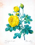 19th-century hand painted Engraving illustration of a Thory' Rose, Yellow Rose. Rosa sulfurea. Rose Juane de soufre. by Pierre-Joseph Redoute. Published in Choix Des Plus Belles Fleurs, Paris (1827). by Redouté, Pierre Joseph, 1759-1840.; Chapuis, Jean Baptiste.; Ernest Panckoucke.; Langois, Dr.; Bessin, R.; Victor, fl. ca. 1820-1850.