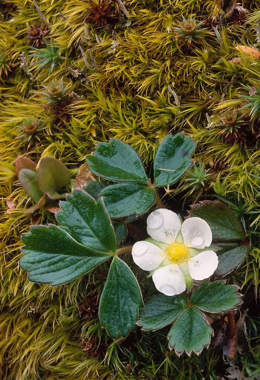 Wildstrawberry, Pacific Northwest,  USA