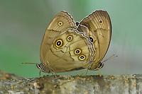 Mating butterflies, Wu Ying District Nature Reserve, near Yichun city, Heilongjiang Province, China
