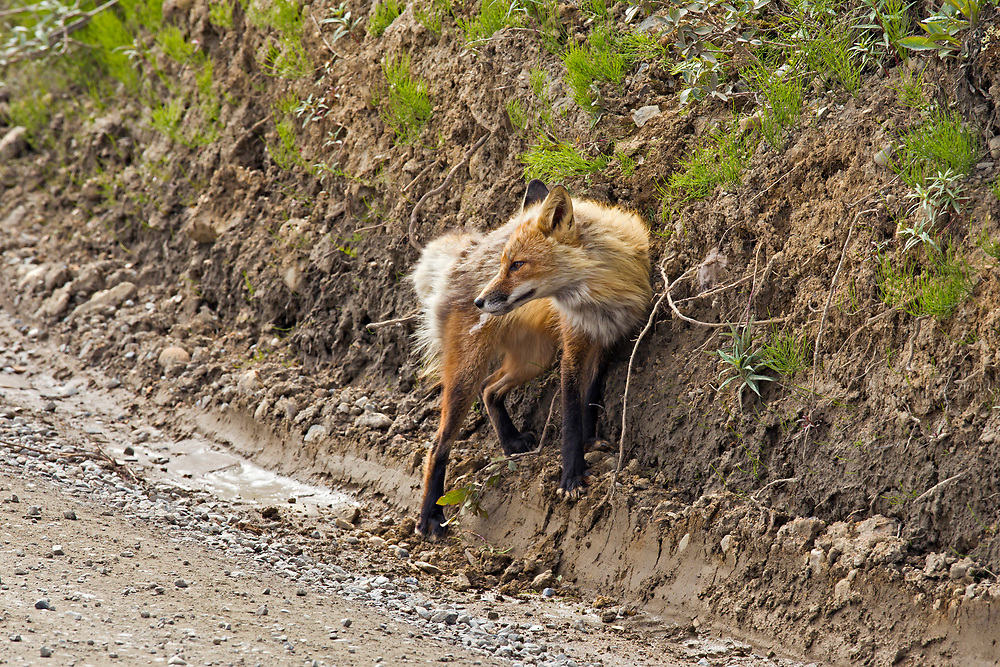 Alaska.  An adult Red Fox (Vulpes vulpes) investigating a scent deposit along the edge of the Denali National Park road and proceeding to vigorously rub its face and shoulder again it on an overcast day in July.