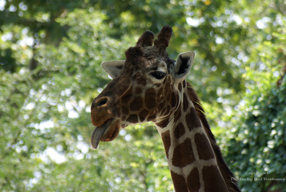 I guess this giraffe did not want it picture taken, so it stuck its tongue out at me.