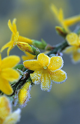 Jasminum nudiflorum in frost - Winter jasmin