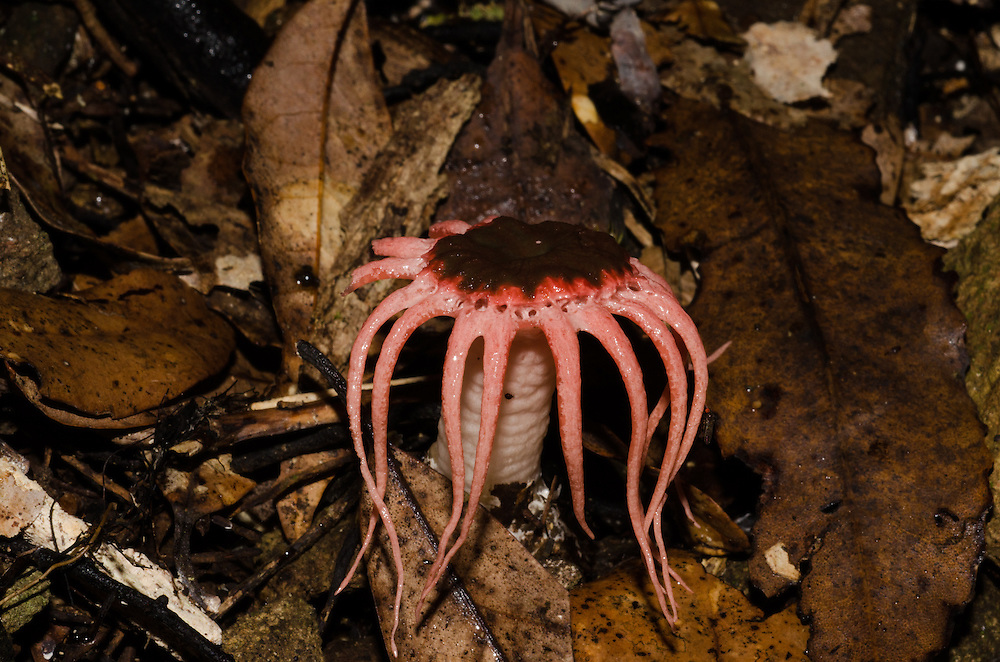 Stinkhorn fungus, Clathrus sp