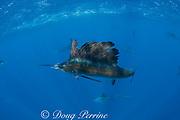 Atlantic sailfish, Istiophorus albicans, with treble hook caught in mouth, off Yucatan Peninsula, Mexico ( Caribbean Sea )