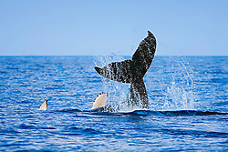 Humpback Whale calf, lobtailing, Megaptera novaeangliae, Hawaii, Pacific Ocean.