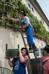Men in traditional outfits are picking bunches of grapes during the Old Vine harvest.Modra kavcina or Bleu de Cologne is more than 400 years old and it is listed in the Guinness Book of Records as the oldest vine in the world still producing fruit. Pictured on 22nd of September in Maribor, Slovenia.  Photo by Milos Vujinovic / Sportida
