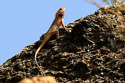 May 4, 2019 - Ajmer, India - A chameleon Sit on a rock in Ajmer, India on 4 May 2019. (Credit Image: © Str/NurPhoto via ZUMA Press)