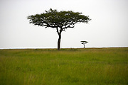 Acacia trees in Africa