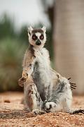 Ring Tailed Lemur, Lemur catta, Berenty National Park, Madagascar, sunbathing in early morning sunlight to warm up,
