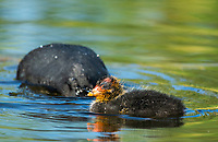 An American Coot, Fulica americana, swims with its chick in a lake in Papago Park, part of the Phoenix Mountains Preserve near Phoenix, Arizona