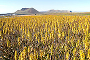 Aloe vera crop in flower with view of volcanoes in the distance, Lanzarote, Canary Islands, Spain