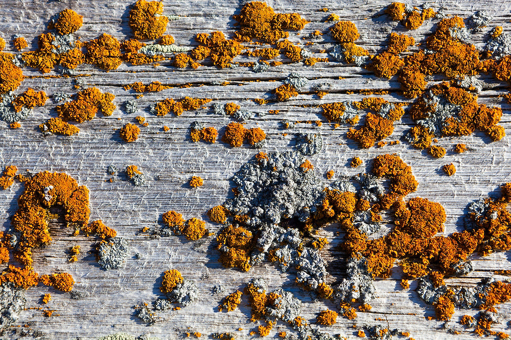 Hull of a wooden barge covered in colorful lichen at the abandoned coal mining operation erected by the British Northern Exploration Company in Calypsobyen, Svalbard in the early 1900s.