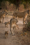 Lionesses with cubs in South Luangwa National Park, Zambia