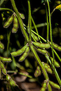 2015/03/04 – Monte Maiz, Argentina: Stalk of the plant with soybeans on a field in Monte Maiz. The soybean is the part of the plant used in many different aliments for human consumption, to feed animals and even to produce bio-fuel. (Eduardo Leal)