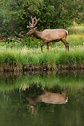 A North American elk grazes along a pond in downtown Estes Park, Colorado.