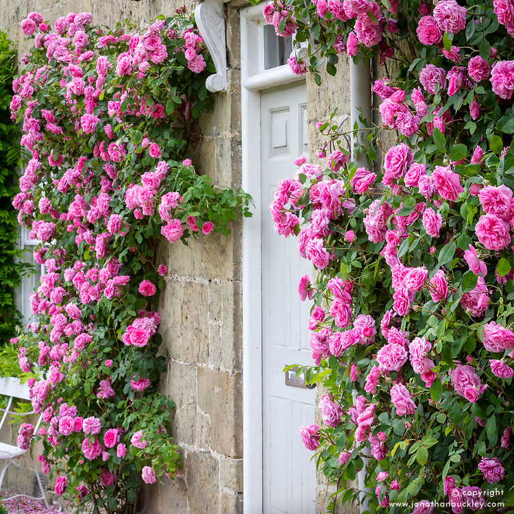 Rosa Gertrude Jekyll = 'Ausbord' AGM growing either side of a door at Park Farm