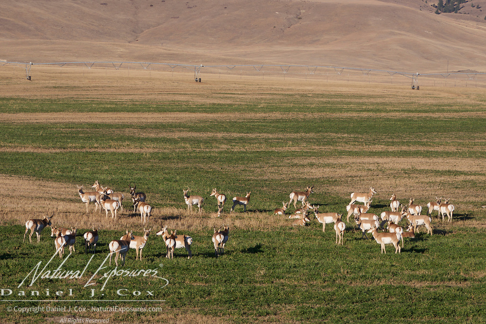 A herd of pronghorn antelope in an agricultural field along Interstate I-90.  Montana