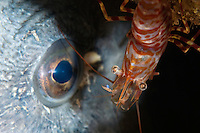 Shrimp, Lebbeus polaris, eyeballing a wolffish, Anarhichas lupus.Atlantic marine life, Saltstraumen, Bodö, Norway