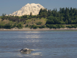 United States, Washington, harbor seal in Puget Sound wtih Mt. Rainier in distance. Billy Frank Jr. Nisqually National Wildlife Refuge
