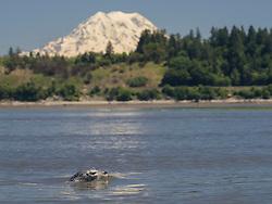 United States, Washington, harbor seal in Puget Sound wtih Mt. Rainier in distance. Billy Frank Jr. Nisqually National Wildlife Refuge