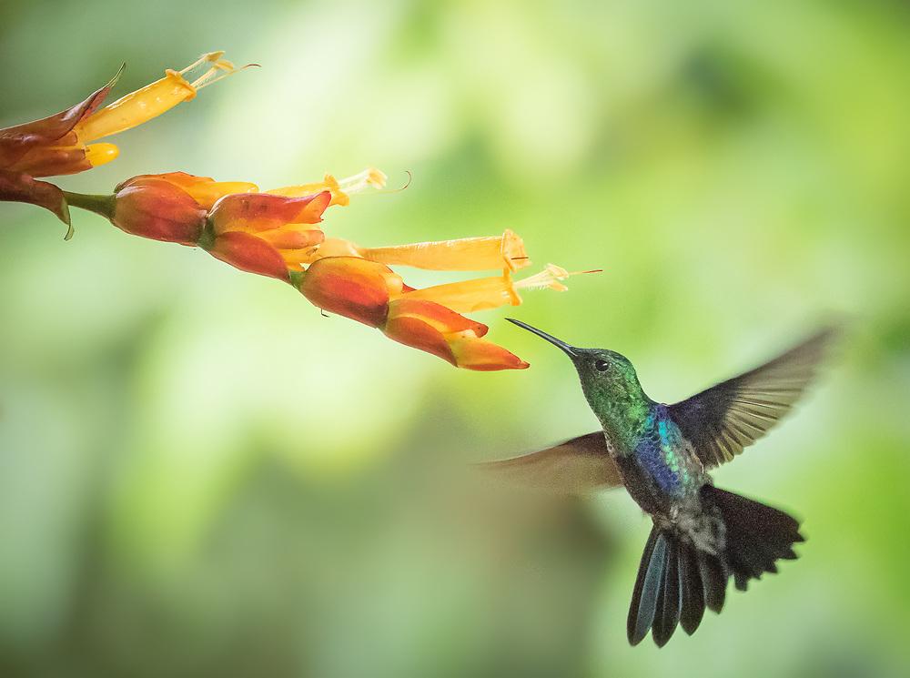Thalurania colombica, Ecuador