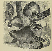 The common Raccoon (Procyon lotor), From the book ' Royal Natural History ' Volume 2 Edited by Richard Lydekker, Published in London by Frederick Warne & Co in 1893-1894