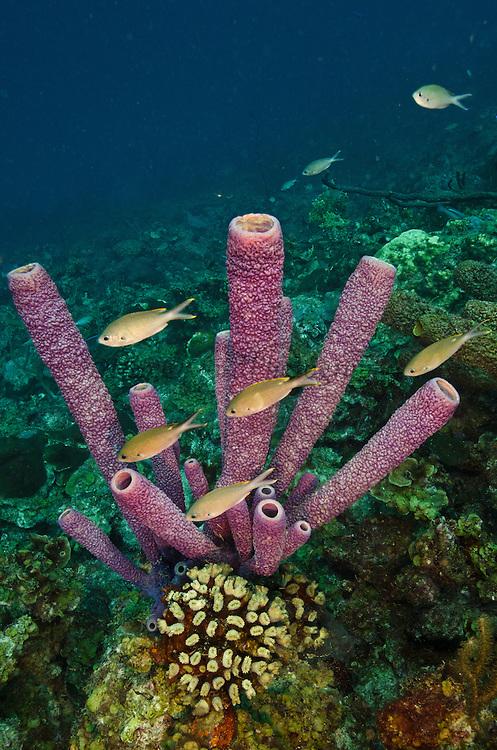 Stove-pipe Sponge (Aplysina archeri)<br /> BONAIRE, Netherlands Antilles, Caribbean<br /> HABITAT & DISTRIBUTION: Deeper reefs and walls<br /> Caribbean & Baharmas
