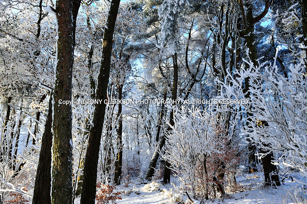 Hoar frost sparkles on snow-covered trees in woods in Airdrie, Lanarkshire, Scotland during freezing winter of 2010. The coldest winter across Britain and Ireland for years, with record-breaking low temperatures.