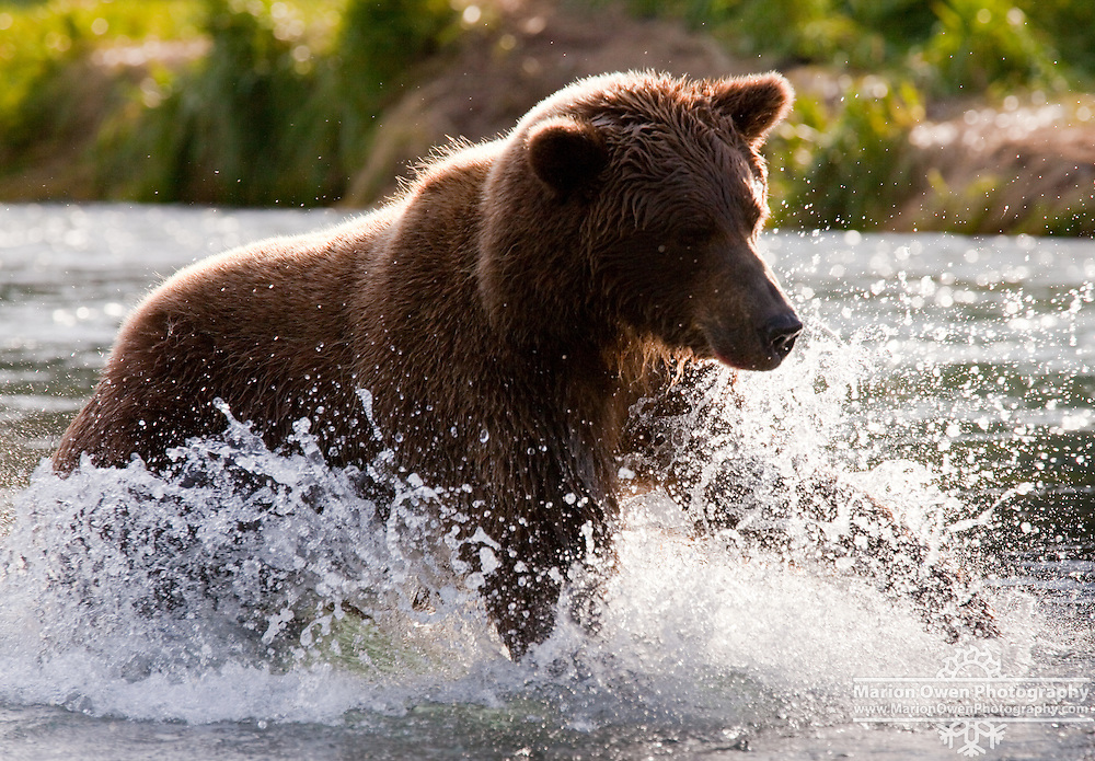 Coastal brown bear chases salmon in Geographic Harbor within the Katmai National Park, Southwest Alaska, summer.