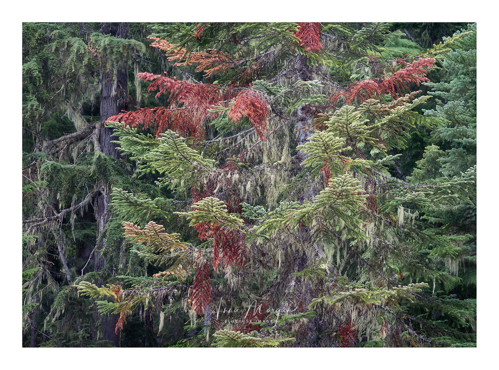 Intimate landscape of old Growth temperate rainforest in Mount Rainier National Park covered in lush, dripping moss