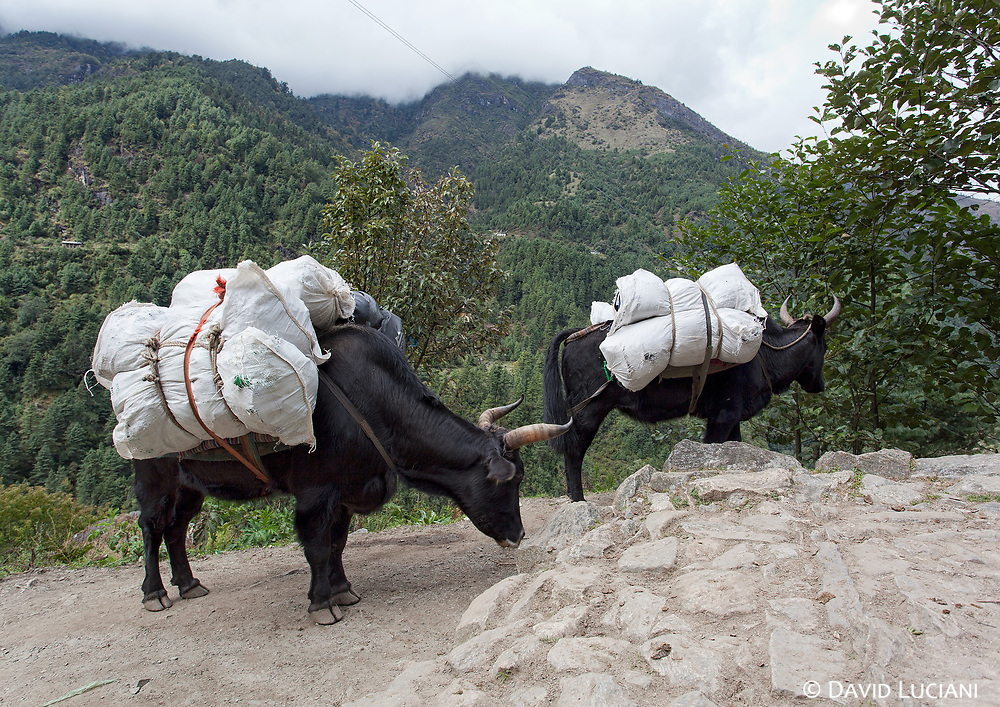 Two loaded Dzos between Lukla and Phakding. The Dzo is a cross between a yak and a cow.