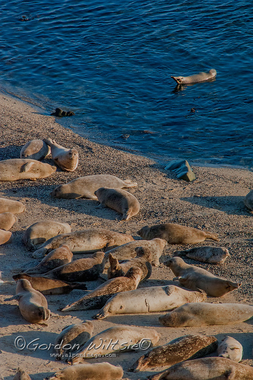 Harbor Seals (Phoca vitulina) travel back and forth from the Pacific Ocean as others rest on a beach in Fitzgerald Marine Reserve, Moss Beach, California.