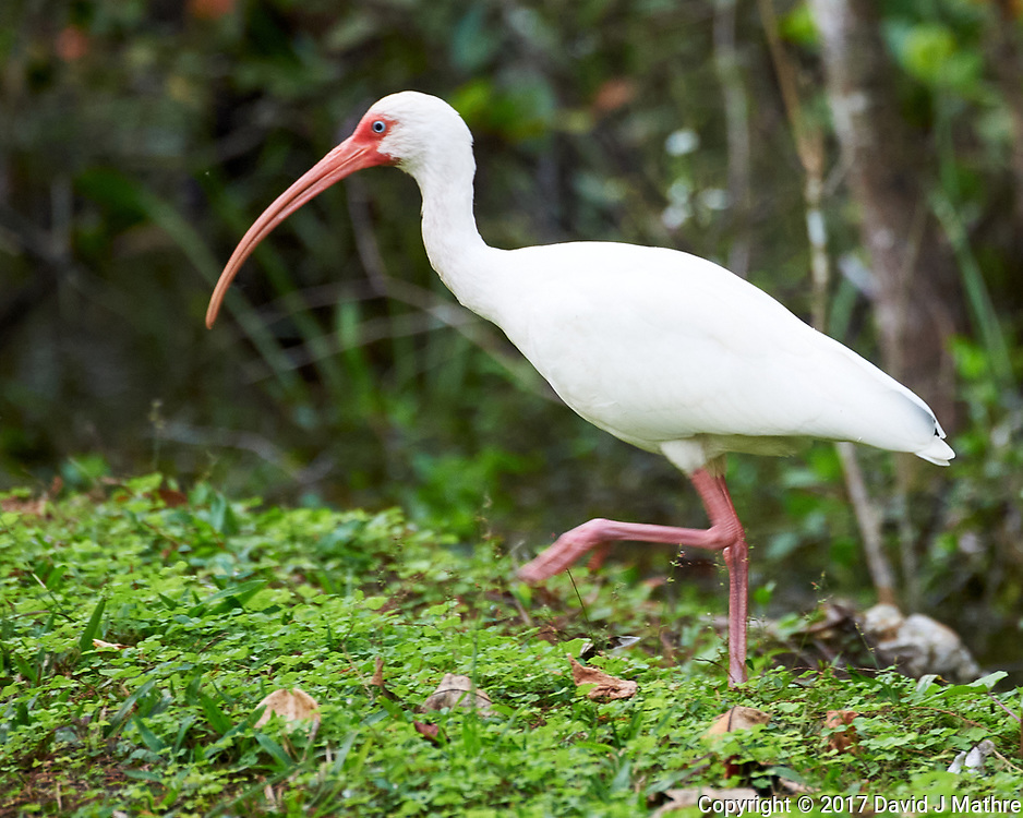 White Ibis (Eudocimus albus). Clyde Butcher Swamp Bungalow. Image taken with a Nikon D4 camera and 80-400 mm VRII lens.