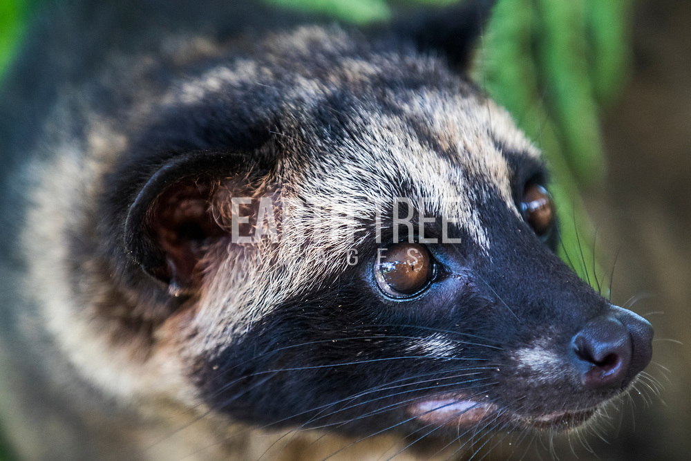 """The Asian palm civet (Paradoxurus hermaphroditus) is a small viverrid native to South and Southeast Asia. Since 2008, it is IUCN Red Listed as Least Concern as it is tolerant of a broad range of habitats. It is widely distributed with large populations that in 2008 were thought unlikely to be declining. In 2012, it was suggested that recent increases in capturing the animals for Kopi Luwak (Civet Coffee) production may constitute a significant threat to wild palm civet populations. Photo: Paul Hilton for RAN A Civet cat is pictured in Indonesia. Sadly these animals have been targeted for the the exotic coffee trade. Caged and force fed coffee beans, locally called """"Luwak Coffee"""" Photo: Paul Hilton for RAN"""