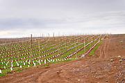 View over the vineyard Bodega Del Fin Del Mundo - The End of the World - Neuquen, Patagonia, Argentina, South America