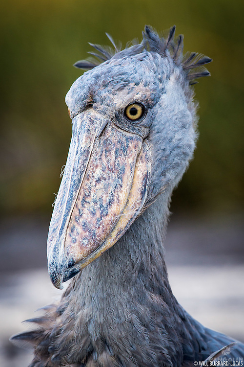 This prehistoric-looking bird is a shoebill. To get this shot I had to wade for two hours into the middle of the Bangweulu Swamps in Zambia. It is estimated that the global population of this species is between 5,000 and 8,000 individuals with the primary threat to their survival being habitat destructions and the illegal pet trade.