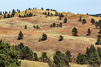 The rolling hills of Custer State Park are a mixture of prairie grasslands and ponderosa pine forests.  South Dakota.