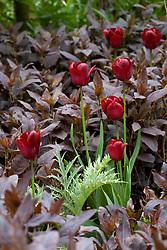 Tulipa 'Jan Reus' amongst lysimachia foliage