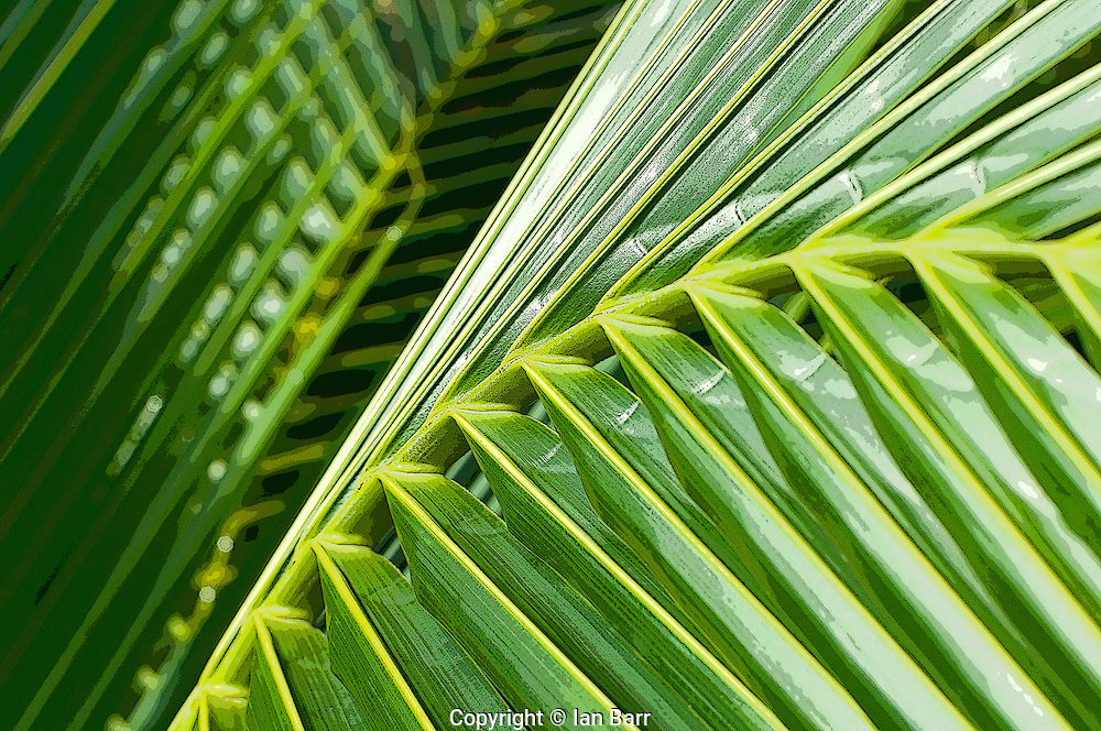 Abstract shot of a coconut palm frond