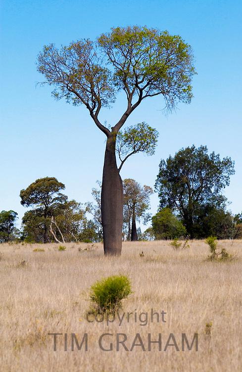 Tree, possibly Baobub ? Queensland, Australia