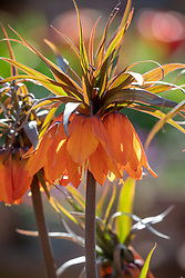 Fritillaria imperialis 'Sunset' - Crown imperial