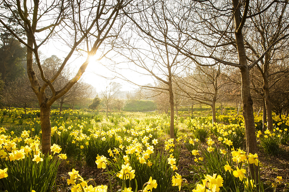 Sun shining through the trees across a woodland area in Rozel, filled with daffodils in spring in Jersey, Channel Islands