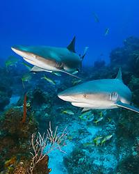 Caribbean Reef Sharks, Carcharhinus perezi, swimming over coral reef ledges, West End, Grand Bahama, Atlantic Ocean.
