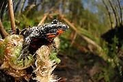 European fire-bellied toad (Bombina bombina) | Rotbauchunke (Bombina bombina)